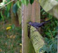 Gray Catbird sitting on a Wood Fence