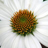 White Coneflower Square close-up