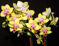 Yellow Orchids II