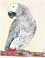 Thomas Dillon African Grey