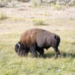 """Bison"" by Hartphotography"