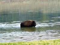 Bison in lake