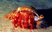 Eremit Crab with Anemone