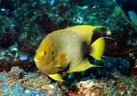 Endemic Angelfish