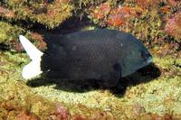 Black & White Damselfish
