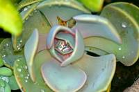 Succulent Plant with Dew drops