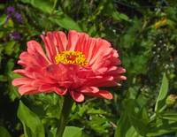 Luscious better than pink Zinnia