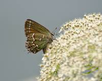 Juniper Hairstreak Butterfly