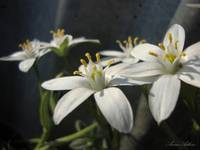 White Eyed Grass