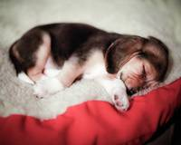 Sleeping Beagle Baby