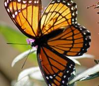 Butterfly  Viceroy Square