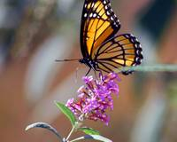 Butterfly  Viceroy