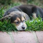 """Beagle Baby On Grass"" by susanweingartner"