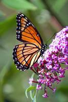 Butterfly  Viceroy on Buddleja
