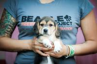 Beagle Freedom Pup on T-Shirt