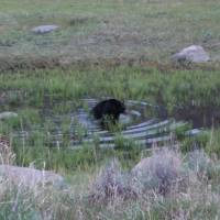 Black Bear, Yellowstone National Park, WY Art Prints & Posters by C and J Piecznski