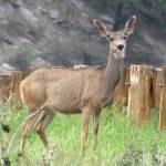 """""""Deer"""" by justnaturephotography"""