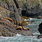 """Steller Sea Lions"" by Lorraine_Sommer"