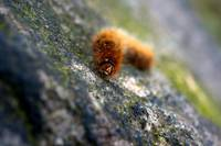 Furry Caterpillar