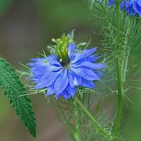 Love in a Mist Flower  Square