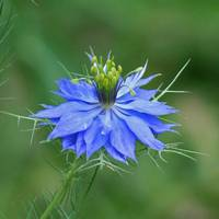 Love in a Mist Flower  Square #2