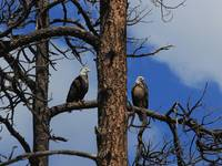 Bald Eagles in Snag