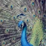 """""""peacock"""" by i2i"""