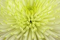 Lime Chrysant flower