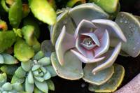 Succulent Plant with Drops of Rain