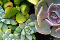 Succulent Plants Wet with Rain