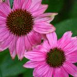 """Two Purple Coneflowers  Echinecea"" by KsWorldArt"
