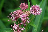 Milkweed Plant with beetles