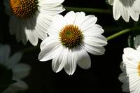 White Coneflower in Light and Shadow