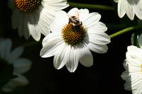 White Coneflower with Bee