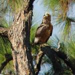"""Hawk in Long Leaf Pine Tree"" by spadecaller"