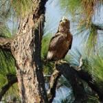 """Hawk in Long Leaf Pine Tree"" by spadecaller"