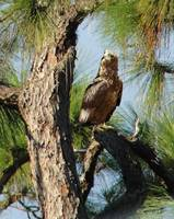 Hawk in Long Leaf Pine Tree