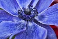Purple Blue Poppy 2