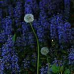 """Dandy Blue"" by christine_thomas"