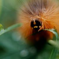 Wooly Worm Lipstick Art Prints & Posters by Christine A. Thomas