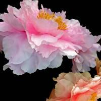 Pas de Deux Glowing Peonies Art Prints & Posters by Lynda Lehmann