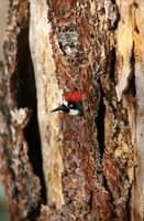 Acorn Woodpecker Peaks Out