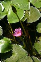 Lily Flower and Lily Pads