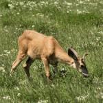 """""""Wyoming Deer"""" by edgabel"""