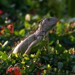 """Ixtapa Iguana"" by DarrinAldridge"