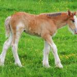 """Shire Horse Foal Standing"" by JMcCoubreyPhotography"