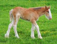 Shire Horse Foal Standing