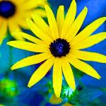 """Black Eyed Susan Flowers Bright"" by KsWorldArt"