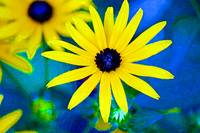 Black Eyed Susan Flowers Bright