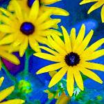 """Black-Eyed Susan Flowers Bright"" by KsWorldArt"